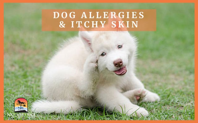 Image for How to Use Zyrtec for Dog Allergies or Itchy Skin