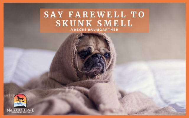 A cute pug dog wrapped in towel after being sprayed by a skunk.