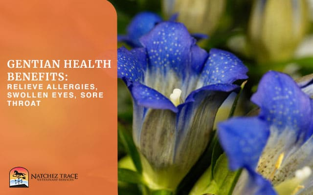Picture Of Gentian Flower With Health Benefits