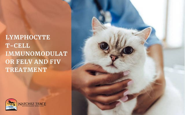 Cat Being Treated For Lymphocyte T Cell
