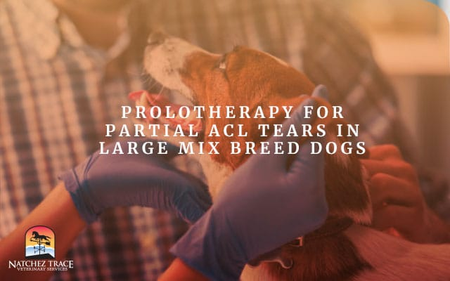 A Picture of Large Mix Breed Dog having Prolotherapy for Partial Acl Tears