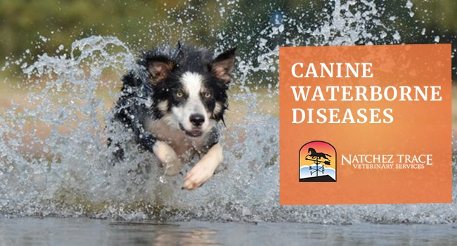 Image for Waterborne Diseases That Affects Dogs: Giardiasis and Leptospirosis